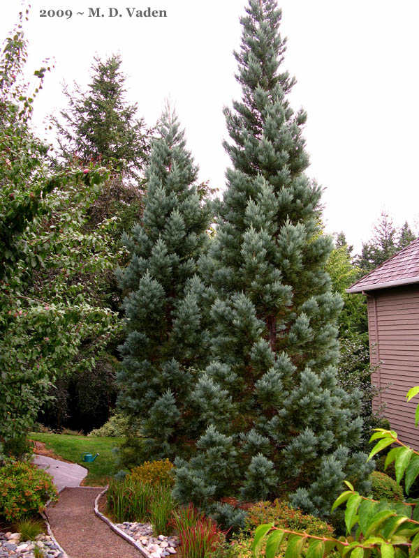 Landscaping With Redwood Trees : Giant sequoias or redwoods raleigh durham coupons landscaping to