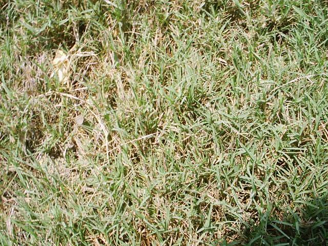 Growing Bermuda Grass and Rye Grass In Phoenix Arizona