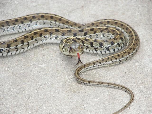 Blue Garter Snakes University Live Fence San