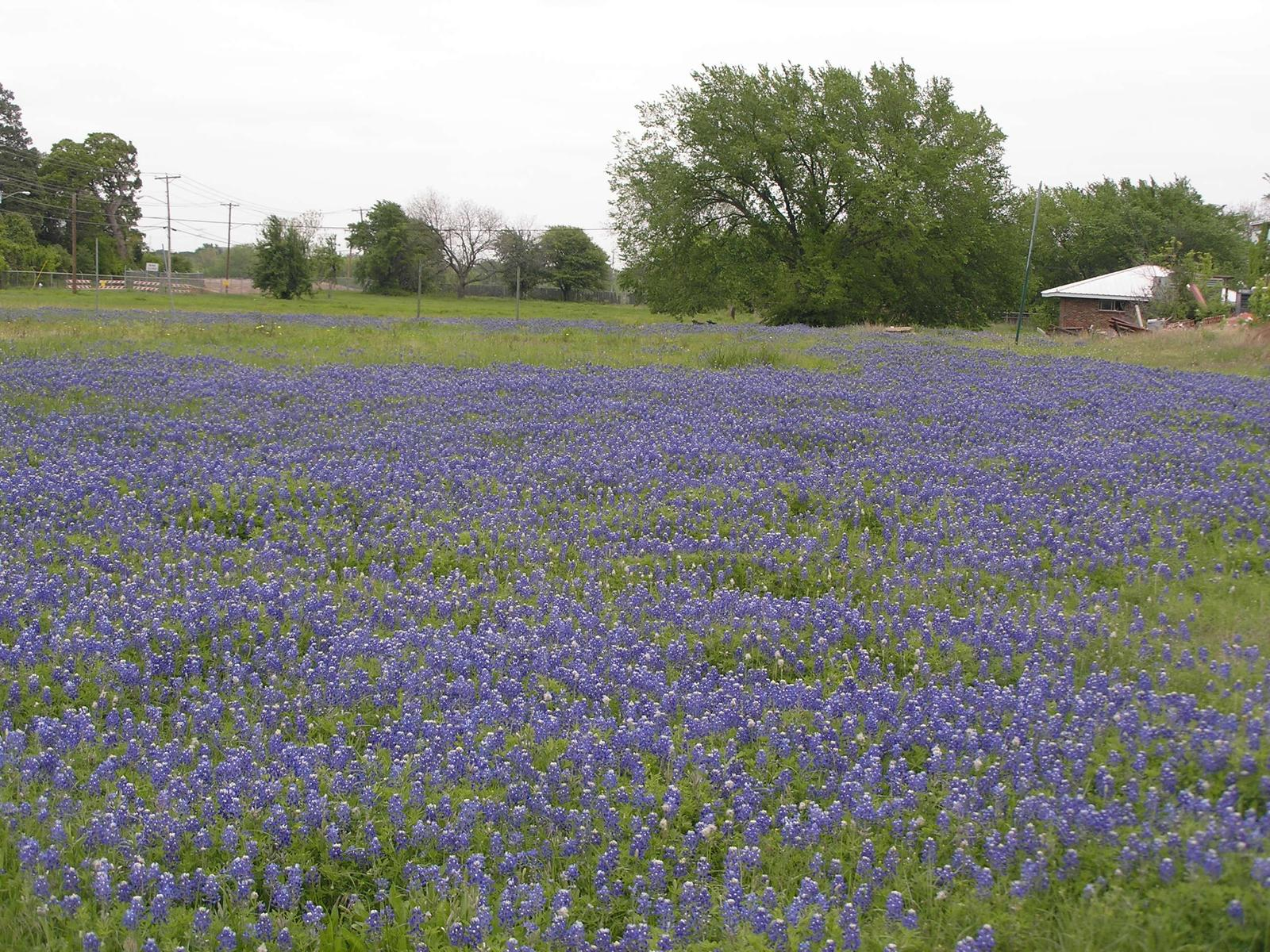 Bluebonnets And Spring Flowers Houston Dallas Stadium Best
