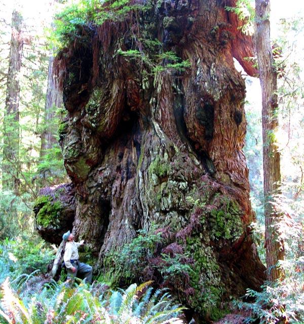 رد: Red wood tree اعلى الاشجار في العالم اليوم!