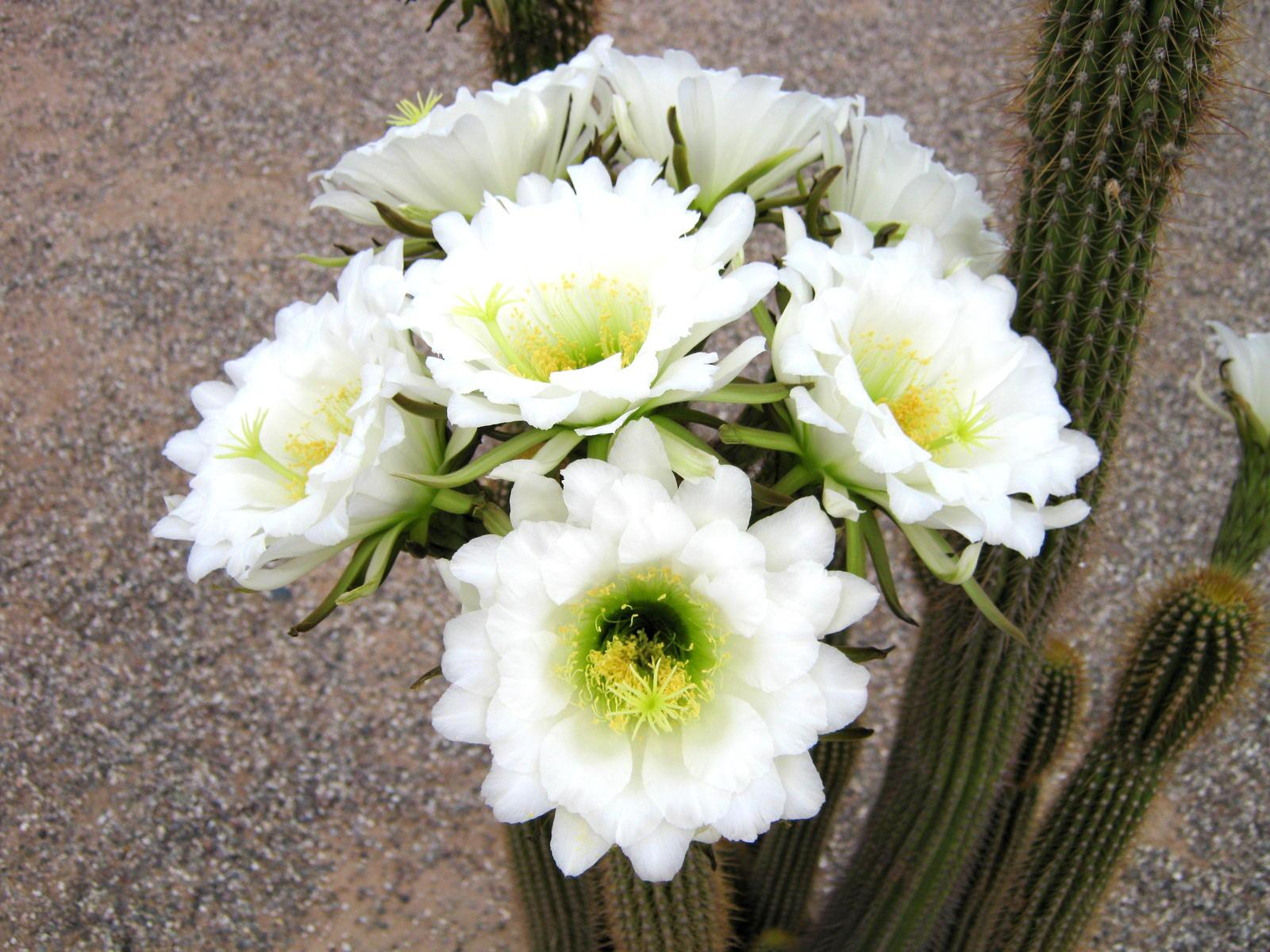 Cactus Flowers home camera good Tucson Arizona AZ City Data Forum