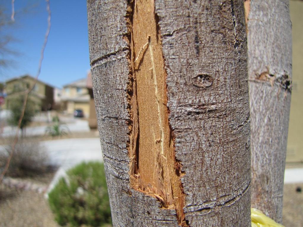 Neighborhood Wide Willow Acacia Die Off Phoenix Tucson Fit In