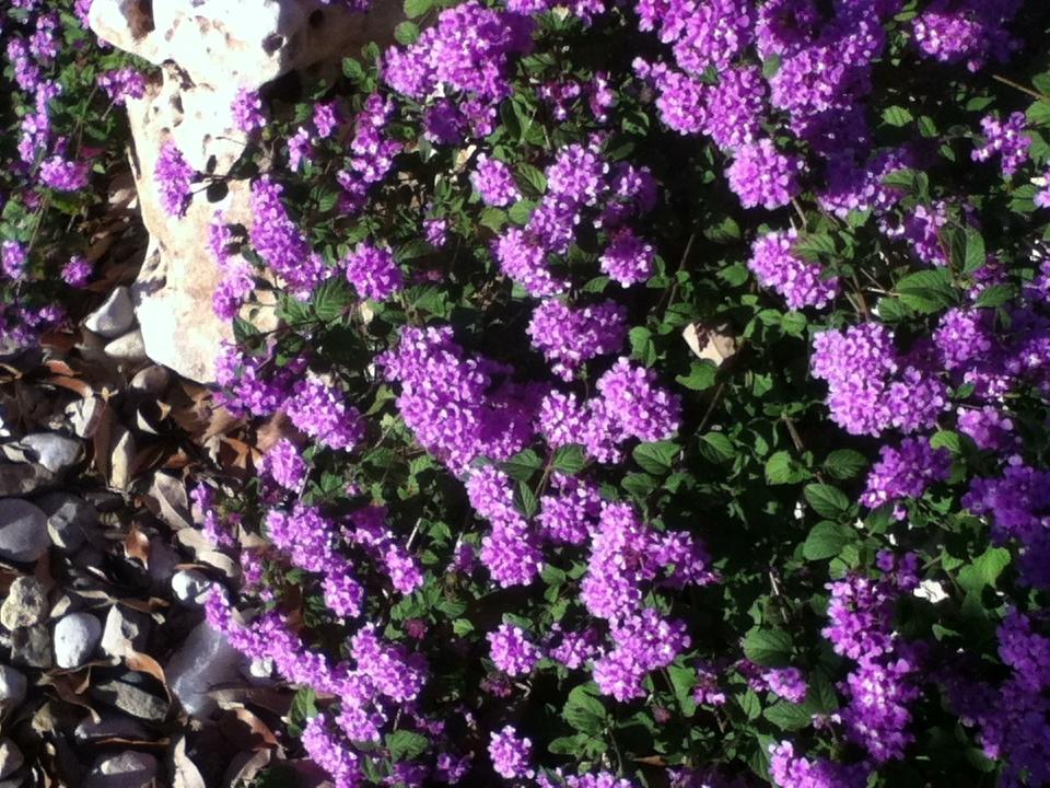 Purple Flowers Blooming Shrub Live Yard Tree Austin Texas Tx City Data Forum