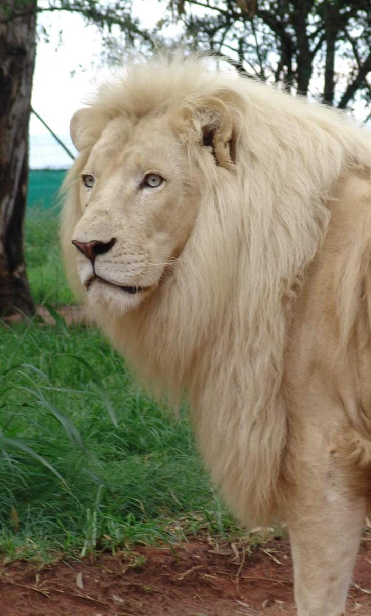 http://www.city-data.com/forum/members/dbcc-485394-albums-africa-views-different-parts-pic23467-south-africa-white-lion.jpg