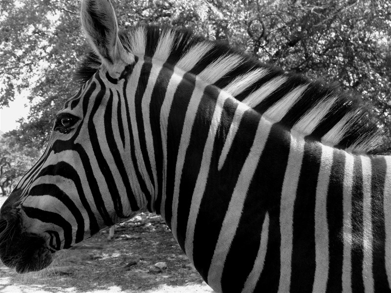 Crno-bele slike - Page 3 Einsteinsghost-474050-albums-nature-pic31307-web-28-wildlife-ranch-zebra