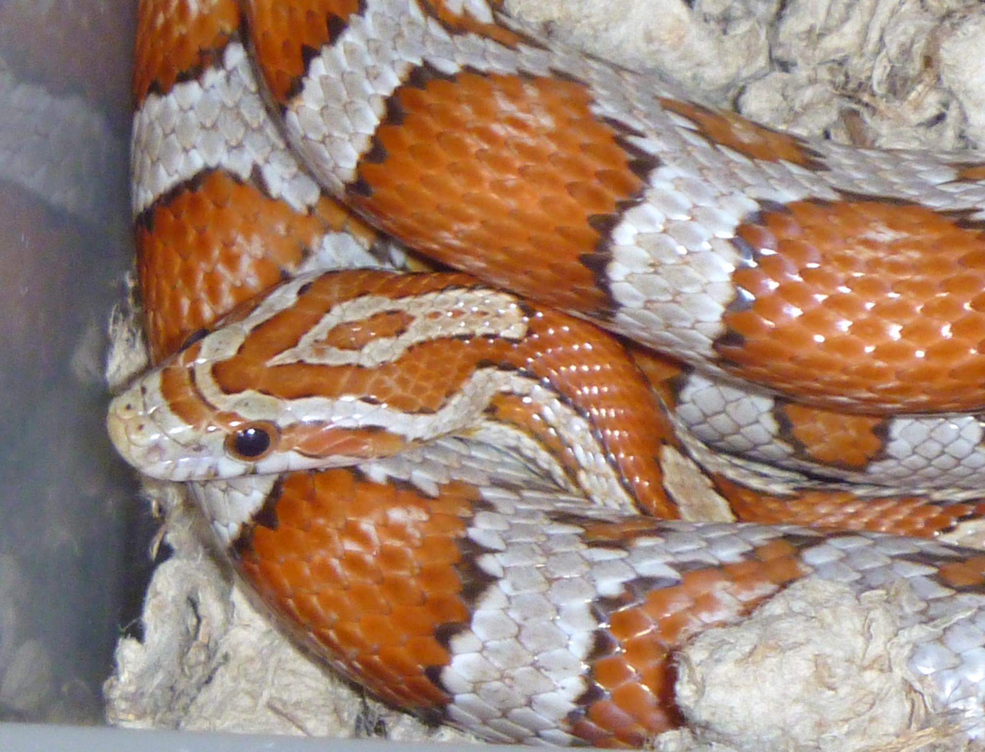 corn snake forum