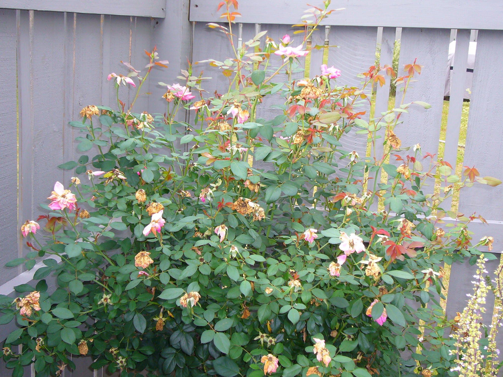 How to trim a rose bush - Knock Out Roses Need Tips And When To Prune Them Flower Growing Garden Trees Grass Lawn Flowers Irrigation Landscaping City Data Forum