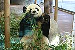 Panda Eating Memphis Zoo
