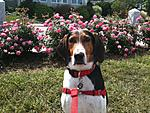 Abby the Treeing Walker
