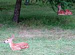 Two fawns on our lawn