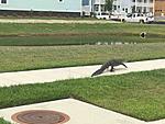 Gator - Carolina Park