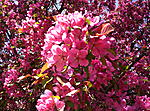 010  flowering crab apple