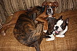 Belle the Boxer, Bo the Boston Terrier, and Petey - he's just sweet :)