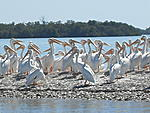 The white pelicans on an island by Boca Grande (by boat)