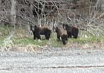 A sow and her cubs... bouncing around in a skiff on a windy evening made the picture a bit blurry.. sorry