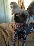 Jasper  Hairless Black and White Spotted Chinese Crested