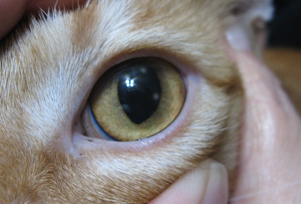 Brand new spots in cat's eye. What could it be? (dogs, vet) - Cats - -  City-Data Forum