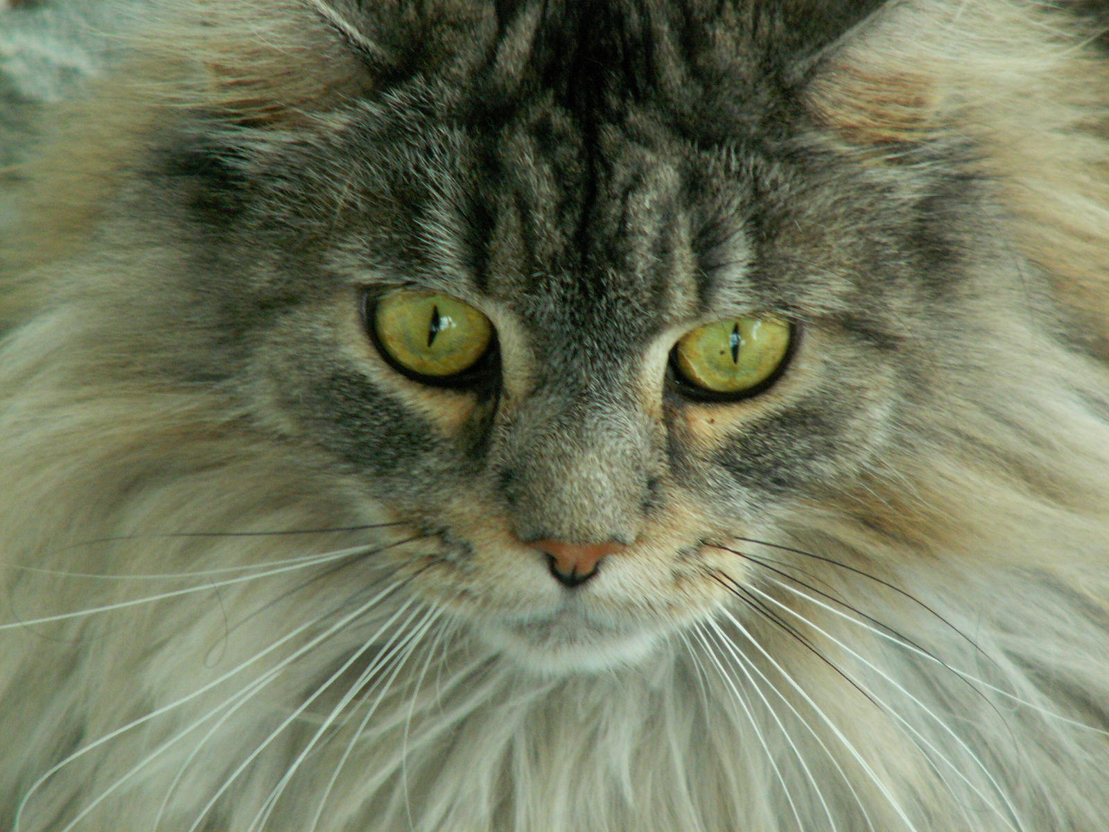 Maine Coon Cats (rescue, paws, Persian, attacking ...