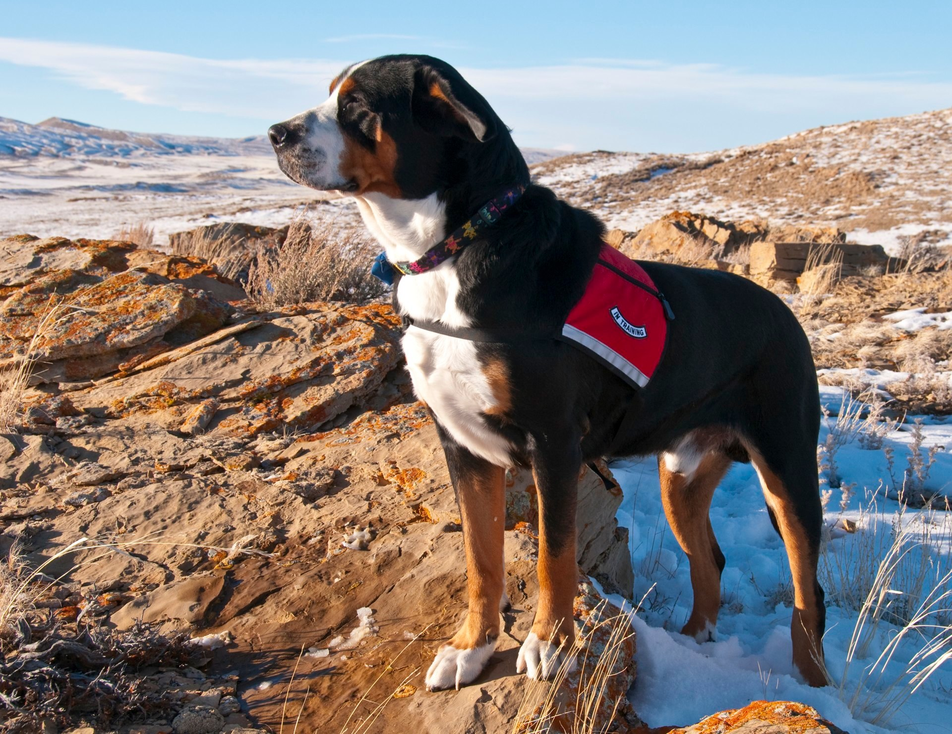 Greater Swiss Mountain Dog Compatibility Vet Breeder