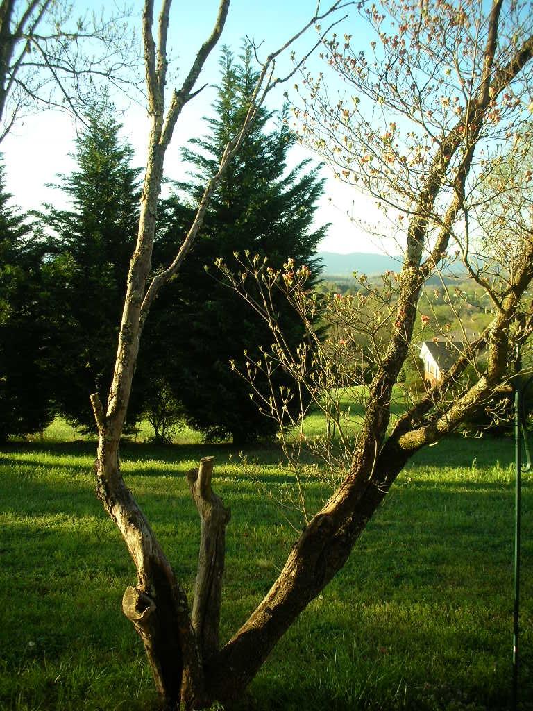 Need Advice On This Dogwood Tree Dscn2260 Jpg