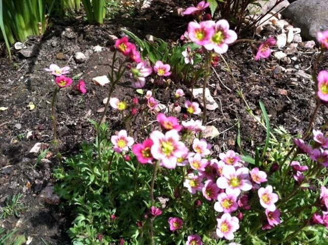 Need Help Identifying Unknown Flowers In My Yard Grown Violet