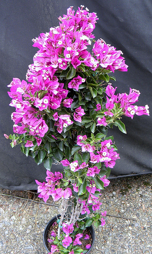 Bougainvillea Is There A Difference Between Shrub Vs