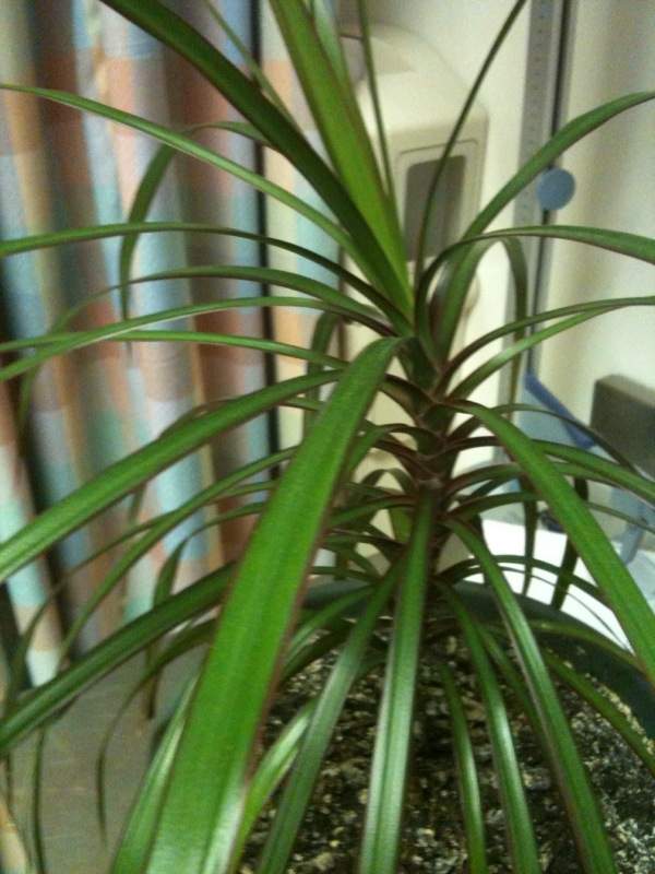 Red Leaf Indoor Plant Identification