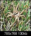What kind of spider is this? It's huge and really scarry!-face-giant-spider.jpg