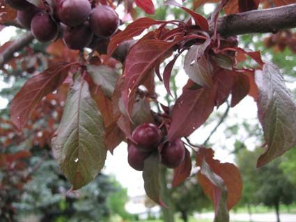 Can Anyone Tell Me The Name Of This Purple Tree Growing Fruits
