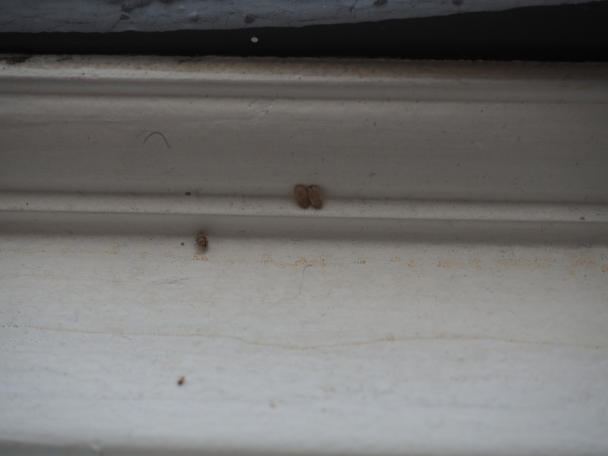 Skin And Body Of Small Bugs On Window Sills Floor Windows
