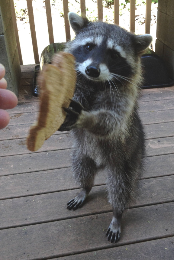 Why would anyone want a racoon for an indoor pet? (legal ...