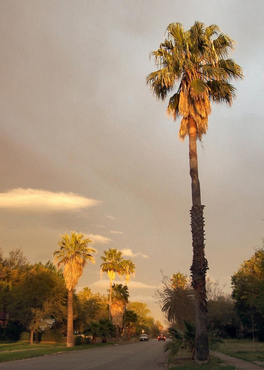 What Is The Tallest Palm Tree In San Antonio Monticello Palms 1600 Jpg